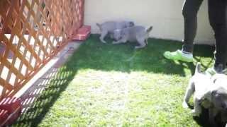 ワイマラナーの子犬 (生後31日目) とっても暖かかったので外で遊ば...