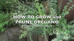 How to Grow and Prune Oregano