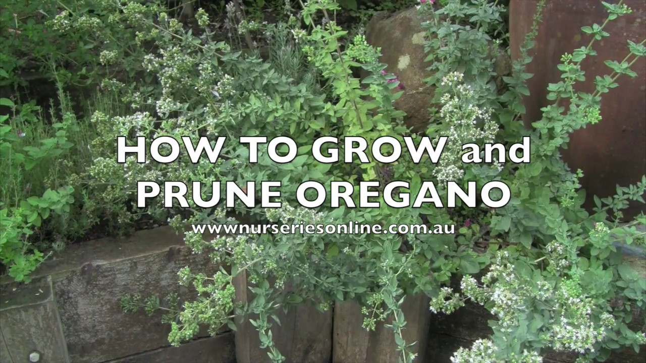 More About How Long Before Oregano Seeds Sprout