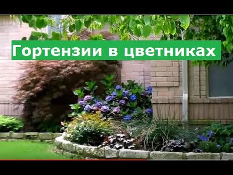 Гортензия в ландшафтном дизайне фото садовая