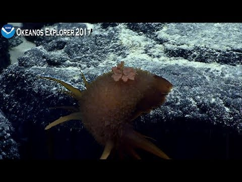 ROV Deep Discoverer Finds an Unknown Sea Slug