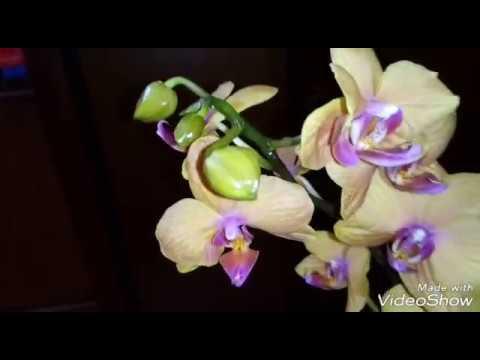 Три новые орхидеи из моей коллекции | ASCPS. Irene Dobkin