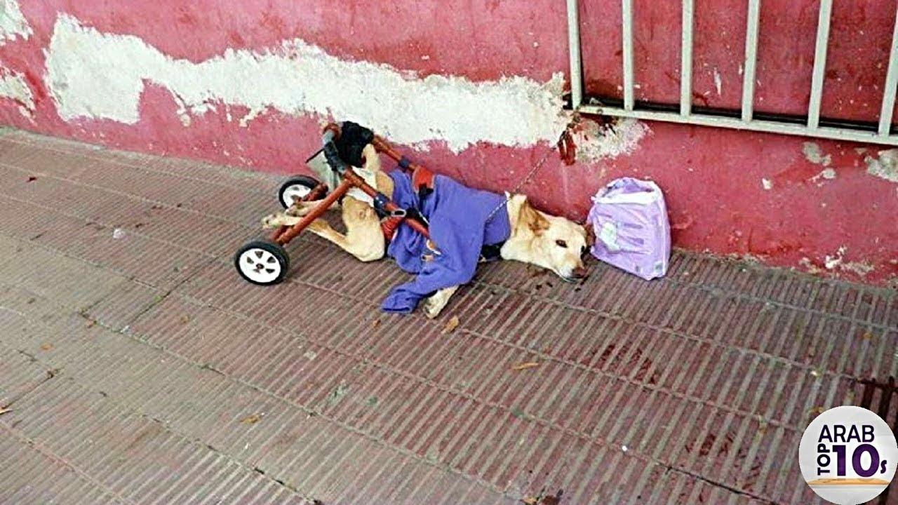شاب سعودي يعيد الأمل لكلب مبتور الساقين من جديد ، لافتة إنسانية رائعة!!