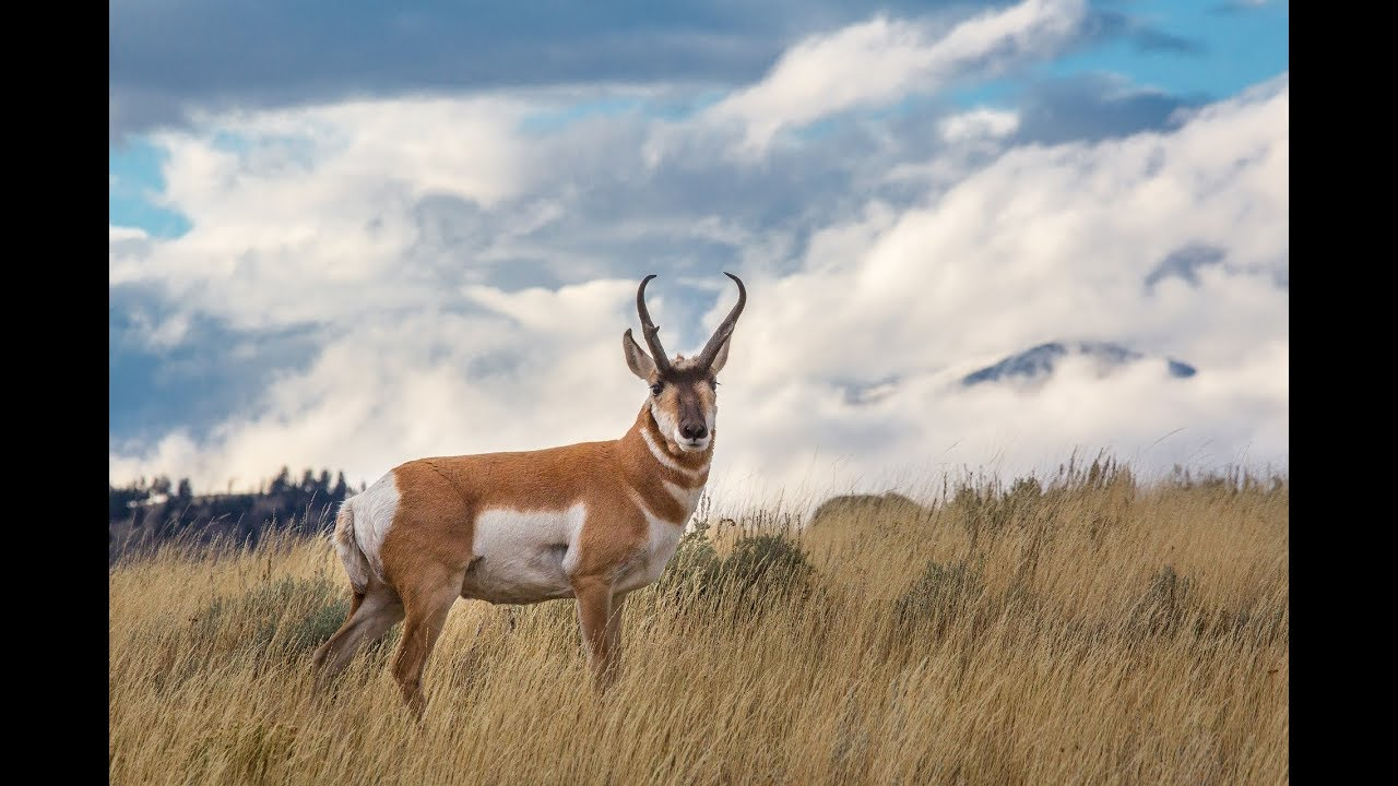 Fastest Land Mammal In North America Pronghorn Youtube