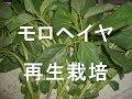 モロヘイヤの再生栽培 料理で残った茎からの再生 の動画、YouTube動画。