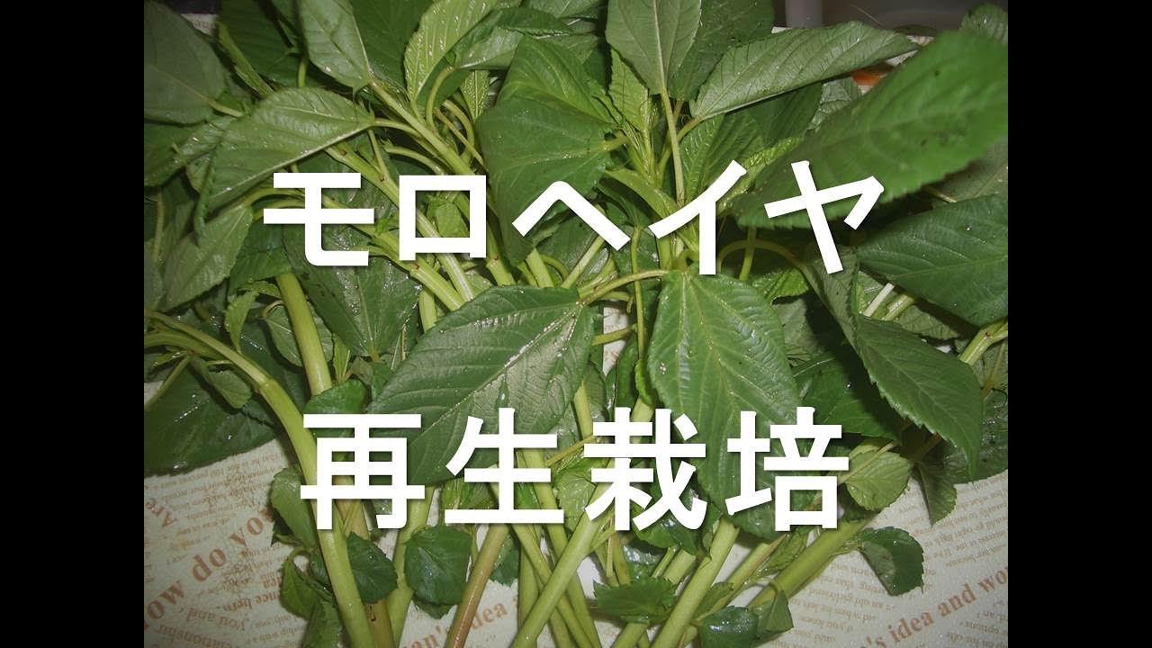茎 モロヘイヤ
