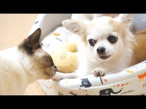 猫ず vs チワワず