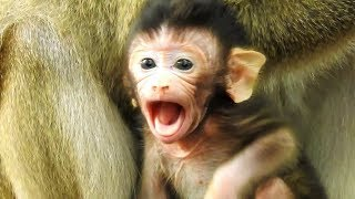 Welcome Newborn Baby! Cute baby monkey tries to ask mom to go walking, Newborn Tobais so cute