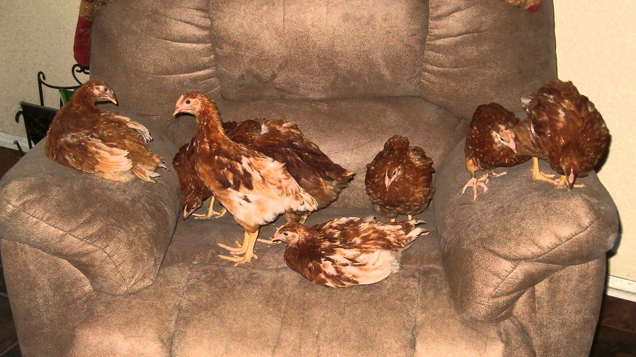 How Old Do Chickens Need to be to Lay Eggs? - Chickens In a Minute ...