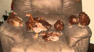 How Old Do Chickens Need to be to Lay Eggs? - Chickens In a Minute