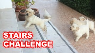 Labrador / Golden Retriever puppies climbing stairs for the first time