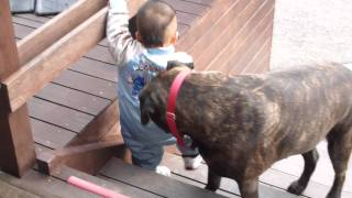 散歩後の'ハウス'の様子 体重60㌔ある大きなブルマスが、1歳児に命令さ...
