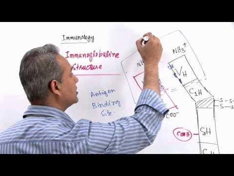 Immunology Lecture 11 Part 3 Immunologlobulins - structure and synthesis (genetics)
