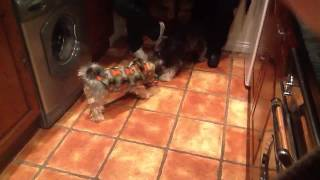 Yorkie Vs  Schnauzer Playing With Rope