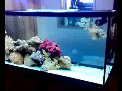 Mi acuario 450litros de peces marino youtube for Peces de acuario marino