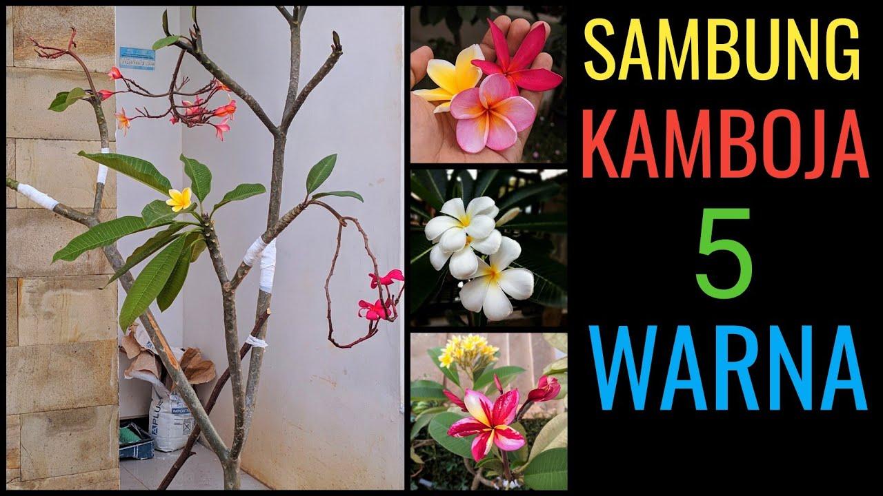 Cara Sambung Kamboja Banyak Warna Bunga Kamboja Bali Plumeria Jepun Bali Youtube