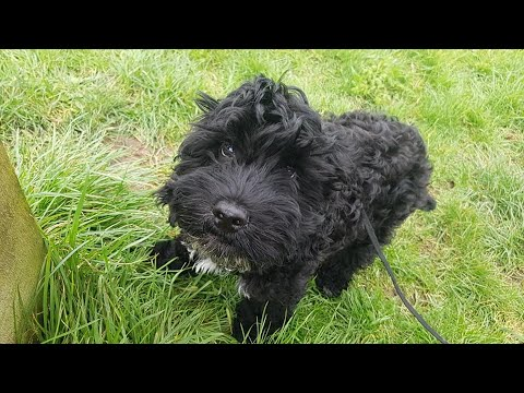 Fred the Cockapoo Puppy - 2 Weeks Residential Dog Training
