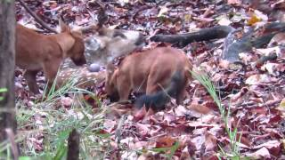 Indian wild dog (dhole) eating alive chital deer