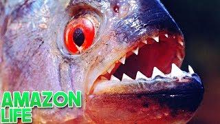 """Amazon Life (Roblox)-Carnivora caccia, Cachoeira """"Piranha""""-#2) (EN-BR)"""