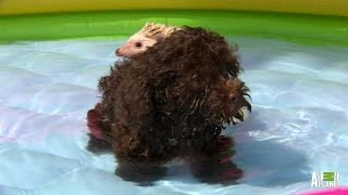 A Playful Swim for Puppy and Hedgehog | Too Cute!