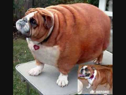 Amazing Chunky Chubby Adorable Dog - hqdefault  You Should Have_696747  .jpg