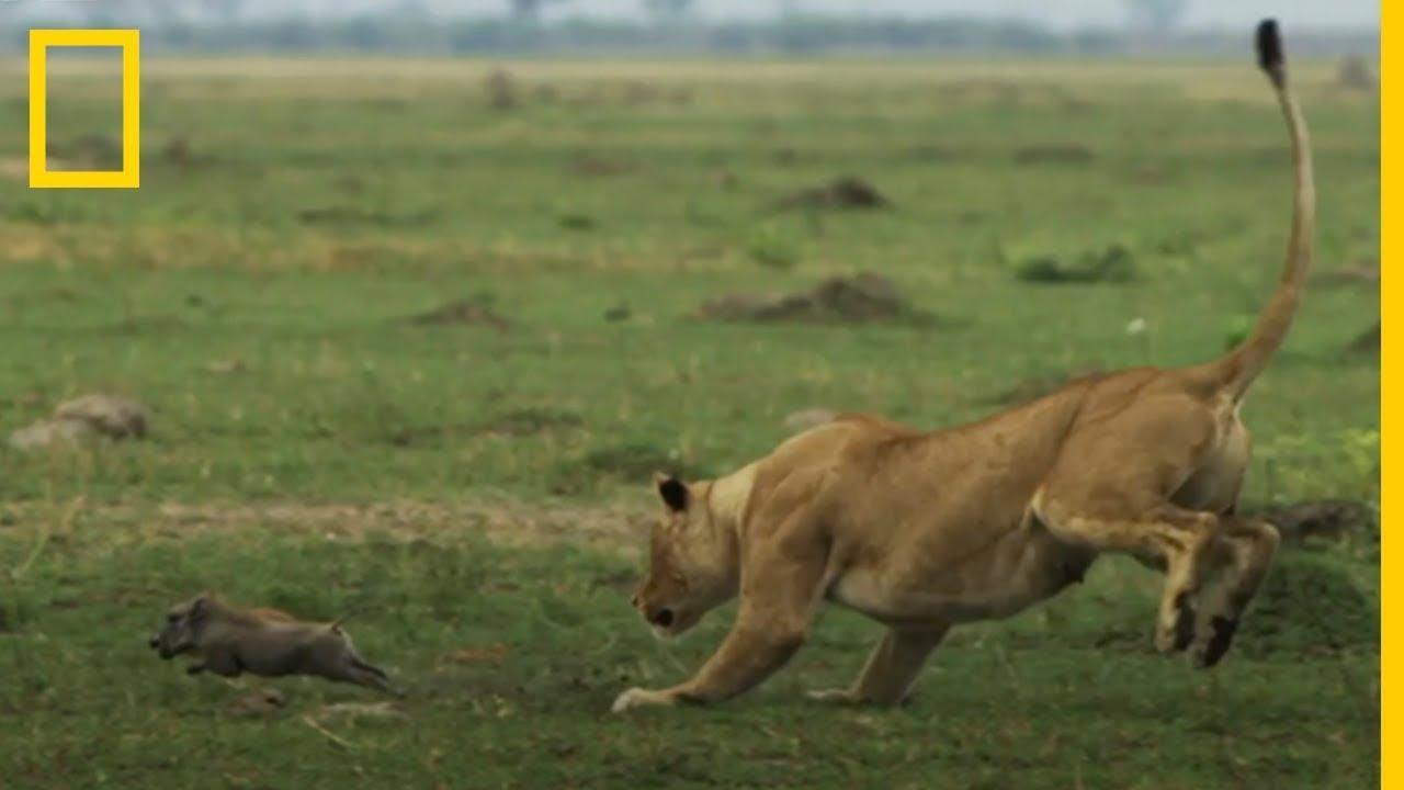 Impresionante Leonas Cazando Crías De Jabalí A Cámara Lenta National Geographic En Español Youtube