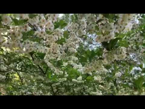 Beautiful Flowering Styrax Tree For Outdoor Landscaping