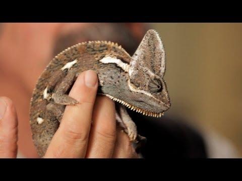 6 Care Tips for Chameleons | Pet Reptiles - YouTube