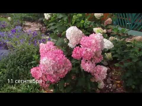 ✿➽ Гортензия метельчатая «Ванилла Фрейз» в моем саду 2016 (часть 1)