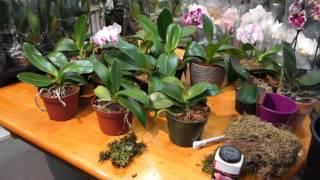 Когда ваша орхидея фаленопсис зацветёт снова? Эксперимент