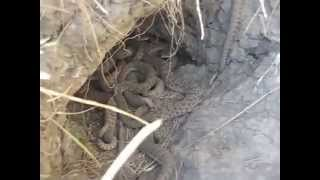 Rattlesnake Den Close-up