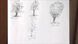 Marie Mandolin   Study Trees By Drawing Them