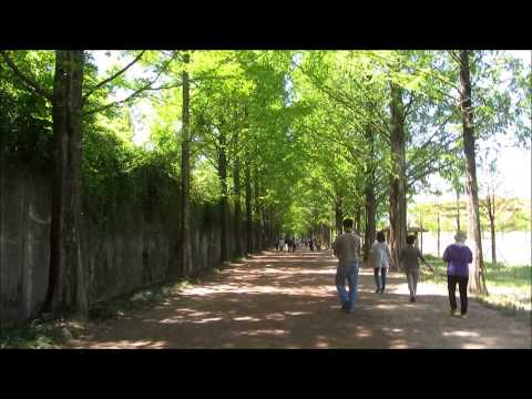 The Famous Metasequoia Tree-Lined Road (Damyang, Jeollanam-do)