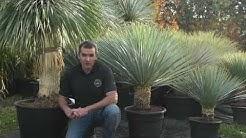 """Culture et entretien du Yucca rostrata """"blue swan"""" - Pépinière en ligne À l'Ombre des Figuiers"""