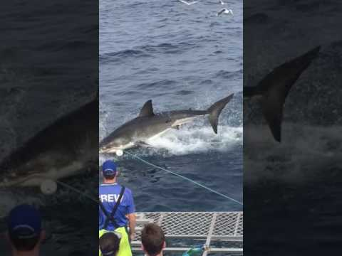 Breaching Shark Grabs Bait