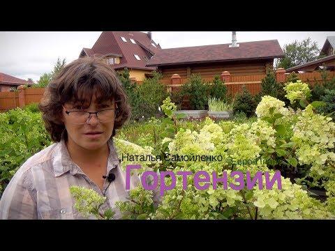 Гортензия в саду:  виды, сорта, условия произрастания, обрезка и уход.