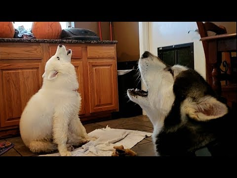 Mad Malamute Argues With Husky Puppy..........lol