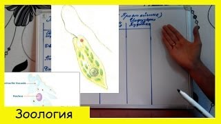 Урок биологии №5. Простейшие (одноклеточные животные).