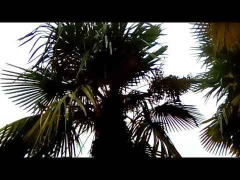 Что растет на пальмах, какие фрукты, бананы растут на пальме? Смотрите видео.