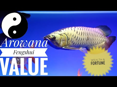 Arowana Feng Shui Facts. Dragon Fish Feng Shui Facts.