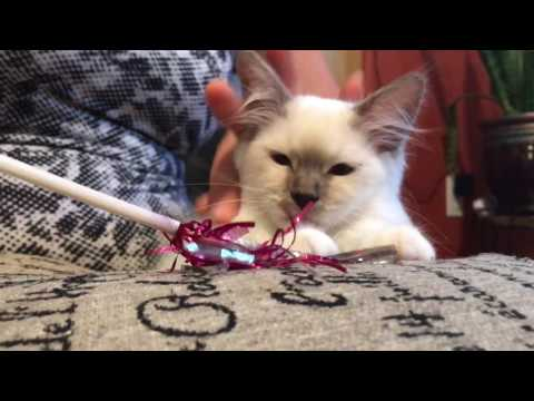 Ragdoll kitten - what they like to eat - Royal Canin dry food and Purina Pro Plan canned food