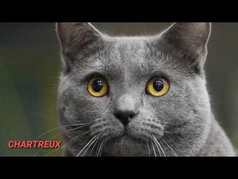 Mengenal Jenis jenis kucing RAS