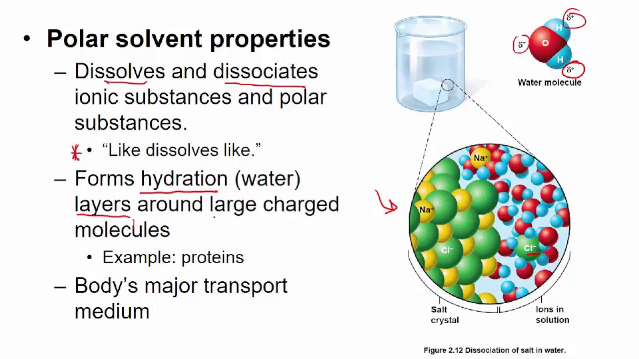 water as a transport medium in the body