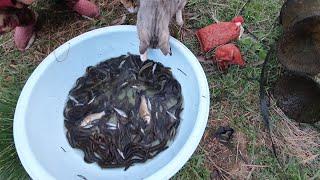 미꾸라지 키우는 작은연못에 어망 4개를 넣어 몇마리나 …