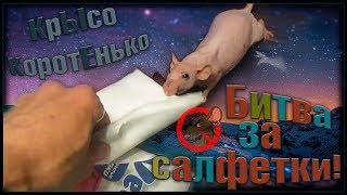 Битва за салфетки, или лысой крысе холодно. Зюзюка. (Fancy Rats | Декоративные Крысы)