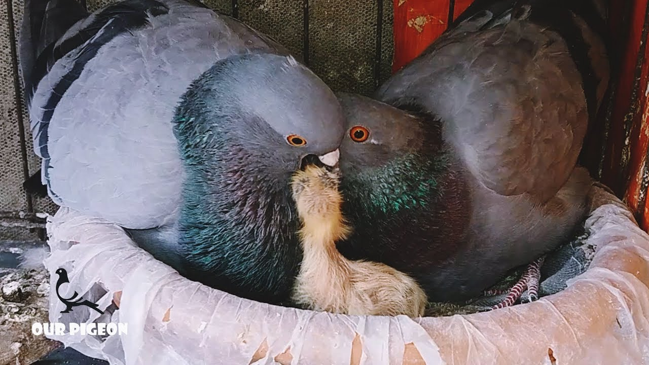 How Pigeons Feed A Newborn Pigeon | Feed a baby pigeon ...