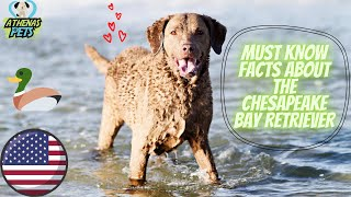 Getting To Know Your Dog's Breed: Chesapeake Bay Retriever Edition