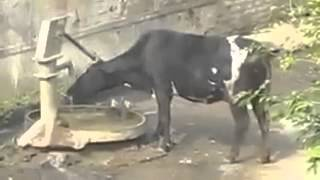 Cow Drinking  water  must  2  watch