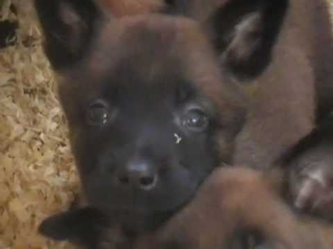 chiots berger malinois - YouTube