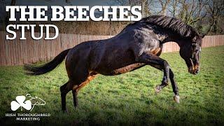 ITM Irish Stallion Showcase 2021 - The Beeches Stud
